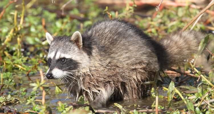 boulder raccoons